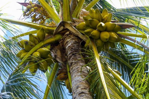 Palma di cocco con frutti